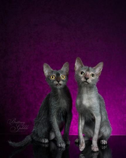 Sphynx kittens for sale, NADA Sphynx and Devon Rex, Rescue