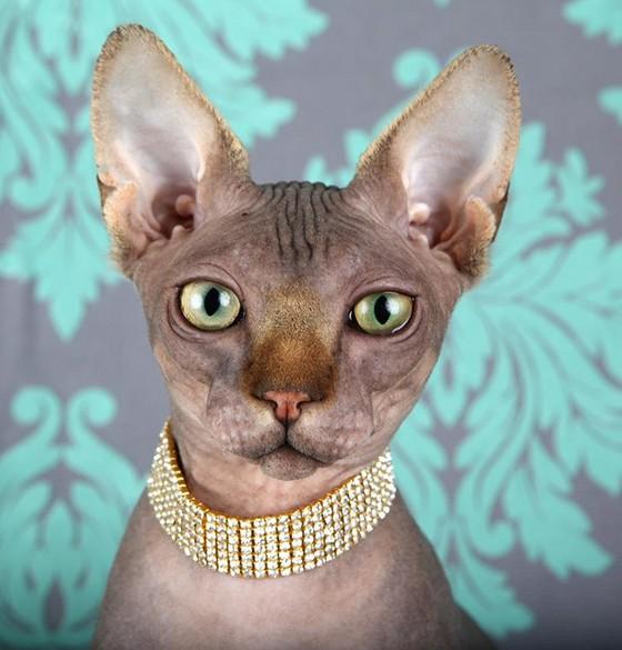 Lykoi Cats Kittens, Nadacatz, Devon Rex, Lykoi, cats for sale, curly
