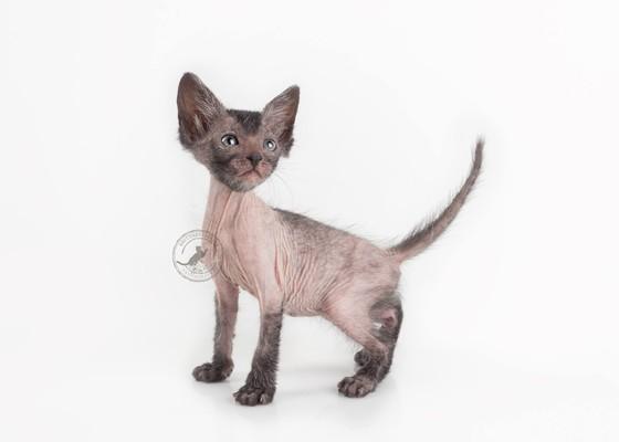 Gobsgobblins Quintessa of Nada Lykoi cat Black Roan Halloween cat Natural Mutation Black Nadacatz Florida Werewolf cats