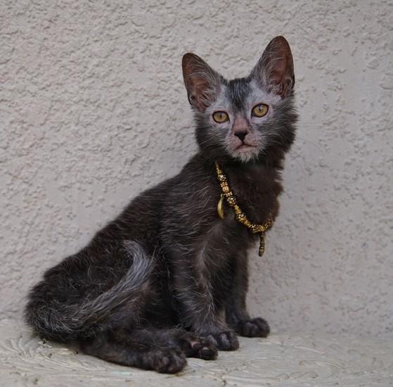 Nada Moonlight Madeline Lykoi cat Black Roan Halloween cat Natural Mutation Black Nadacatz Florida Werewolf cats