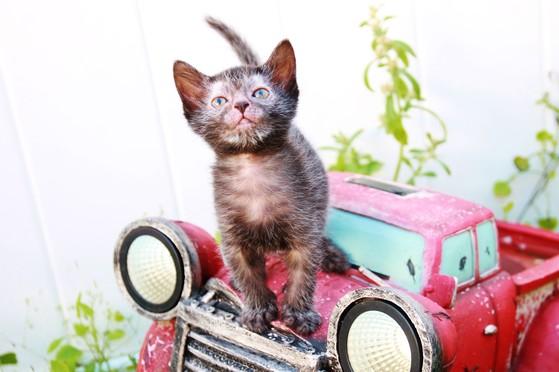 Nada Sebastian Wolff Werewolf cat Lykoi Rare Black roan Natural Mutation Stud Nadacatz Naughty Cats