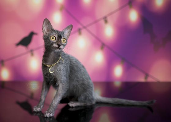Nada Moonlight Sonata Horror Dome puppet Lykoi cat Black Roan Halloween cat Natural Mutation Black Nadacatz Florida Werewolf cats breeder