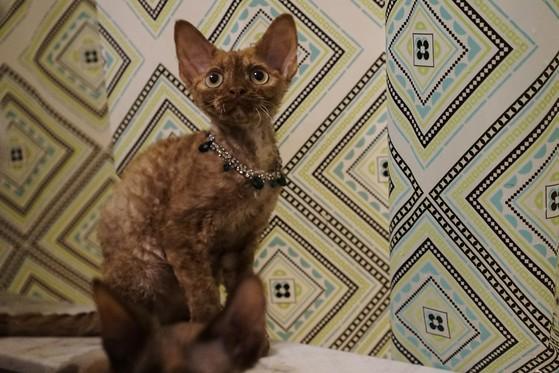 Koro's Cinnamoin Spice Devon Rex Cinnamon Tortie Chocolate Nadacatz Curly coat cat Koro