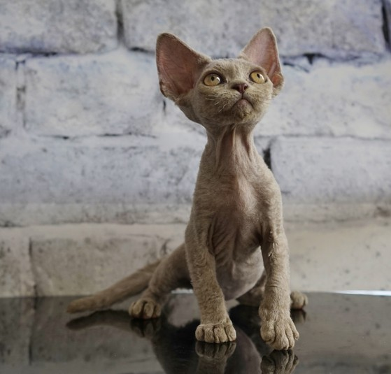 Devon rex Lilac Curly cat Nadacatz Nada