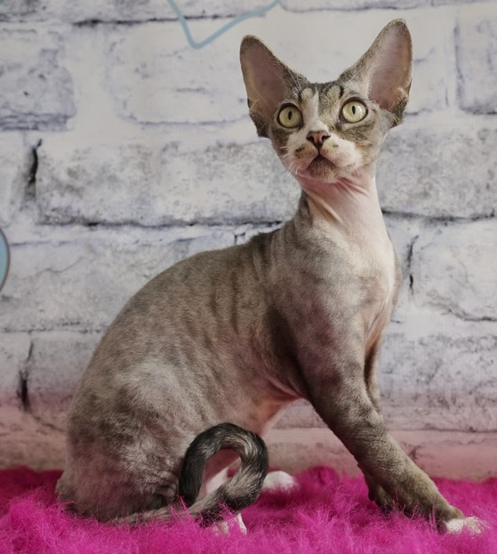 Jazeer Kajigo of Nada Devon Rex Black Smoke Silver Tabby white Curly coated cat Nadacatz Florida