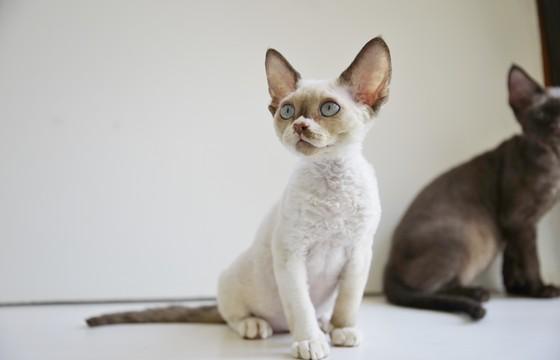 Nada Moxie Raia NadaCatz Devon Rex Curly Coat cat Nadacatz Chocolate Point with white Blue Eyes