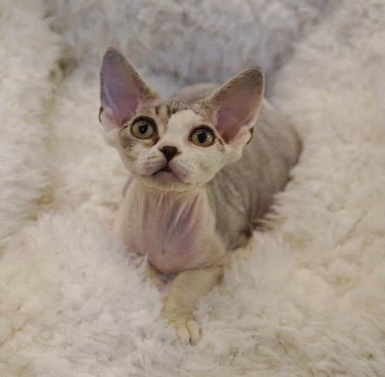 Nada Mercury retrograde Silver Tabby Devon rex Curly coated cat Nadacatz Florida
