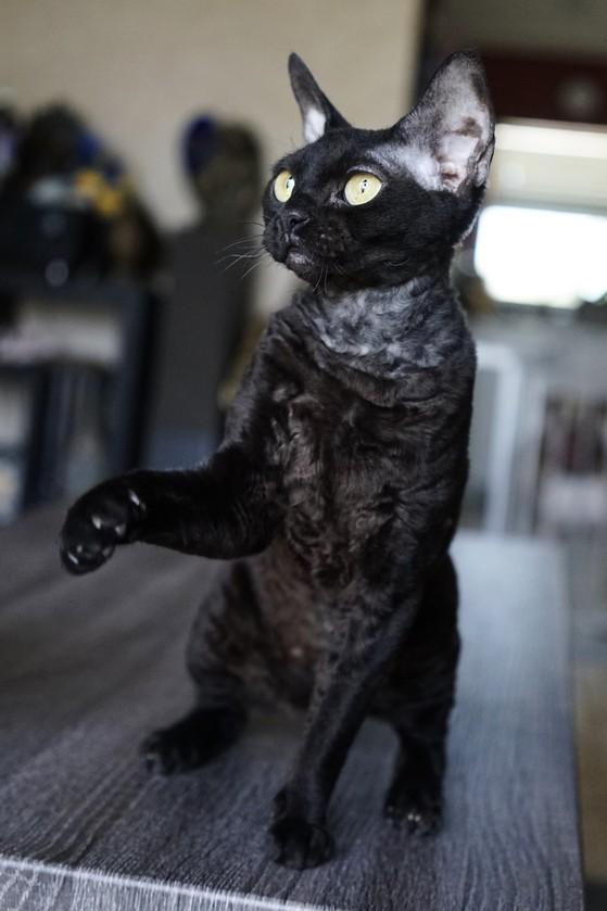 Koro's Beeonsay of Nada Naughty Black cat Devon Rex Nadacatz Florida