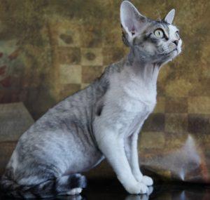 Nada Mercury retrograde Silver Tabby Devon rex Curly coated cat Nadacatz Florida Outcross ASH