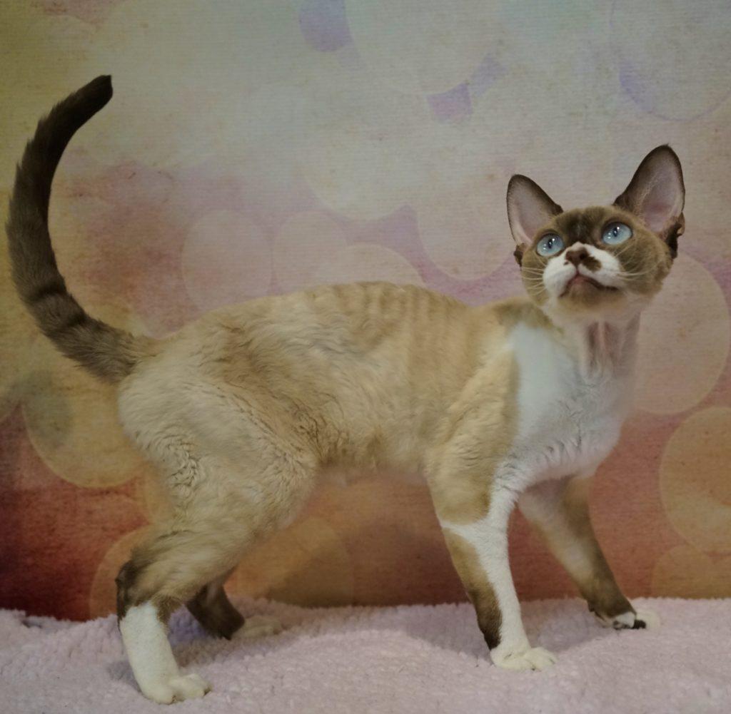 NadaCatz Devon Rex Curly Coat cat Nadacatz Chocolate Point with white Blue Eyes