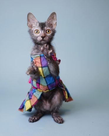 Nada Sonata Rhythm France Lykoi Cat Werewolf Nadacatz Black roan