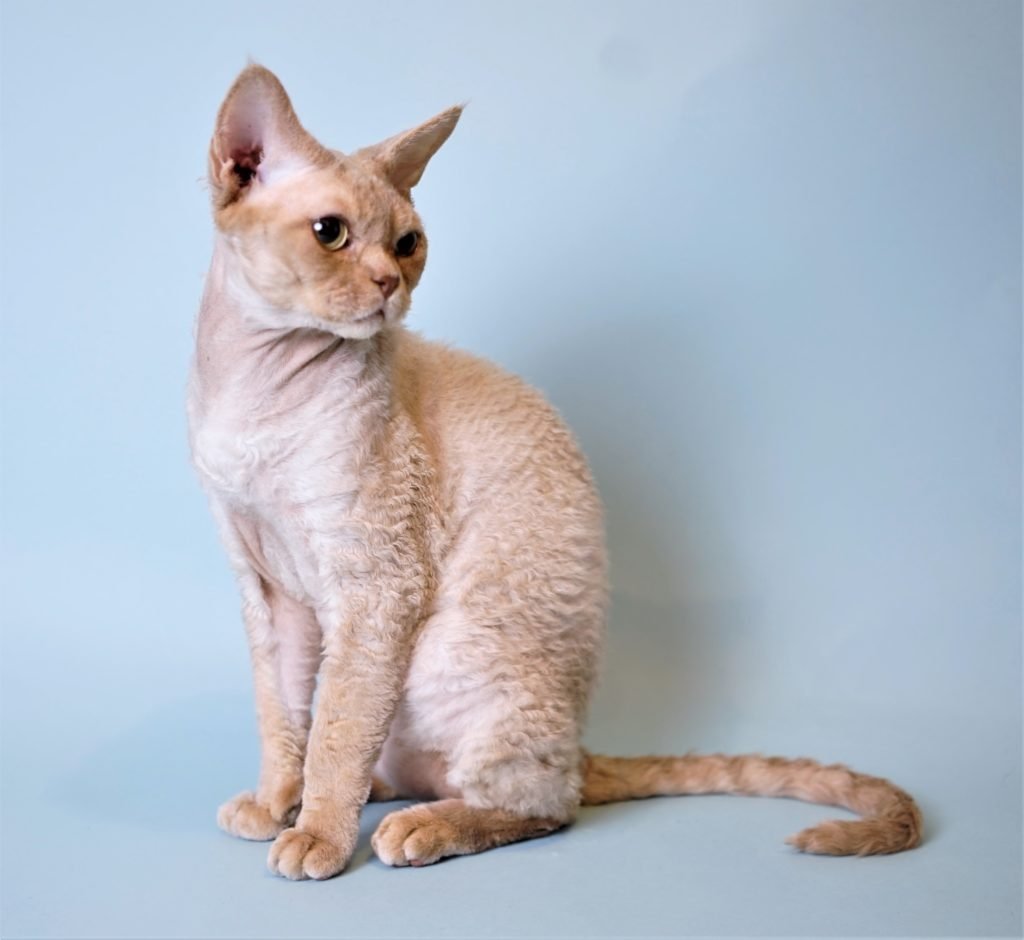 Devon Rex Cinnamon Fawn Tabby Chocolate Curly Cat Siamese point Nadacatz dilute