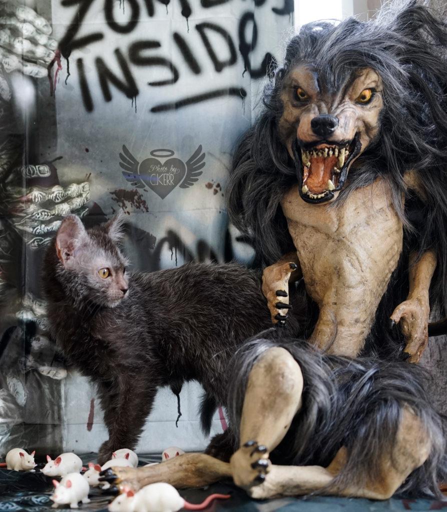 lykoi cat natural mutation black roan nadacatz Essex She wolff werewolf cat