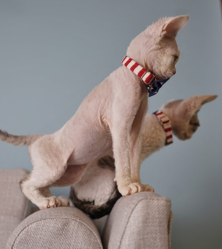 Devon Rex Seal Silver Point with White Nadacatz Beelzebub