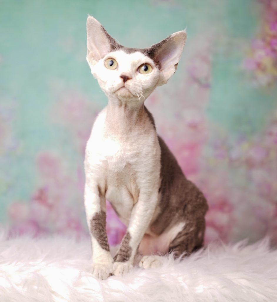 NADA GOD SAVE THE QUEEN QUEENIE NADACATZ KORO FLORIDA BREEDER CURLY CATS