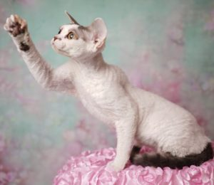 NADA'S IN YOUR WILDEST DREAMS Blue Tabby with white Nadacatz Florida Curly cat Devon Rex Koro