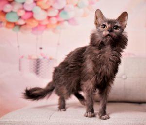 NADA'S PEACE OF MIND PomPom Lykoi Cat Nadacatz Longhair Black Roan Werewolf cat Lykoi cats