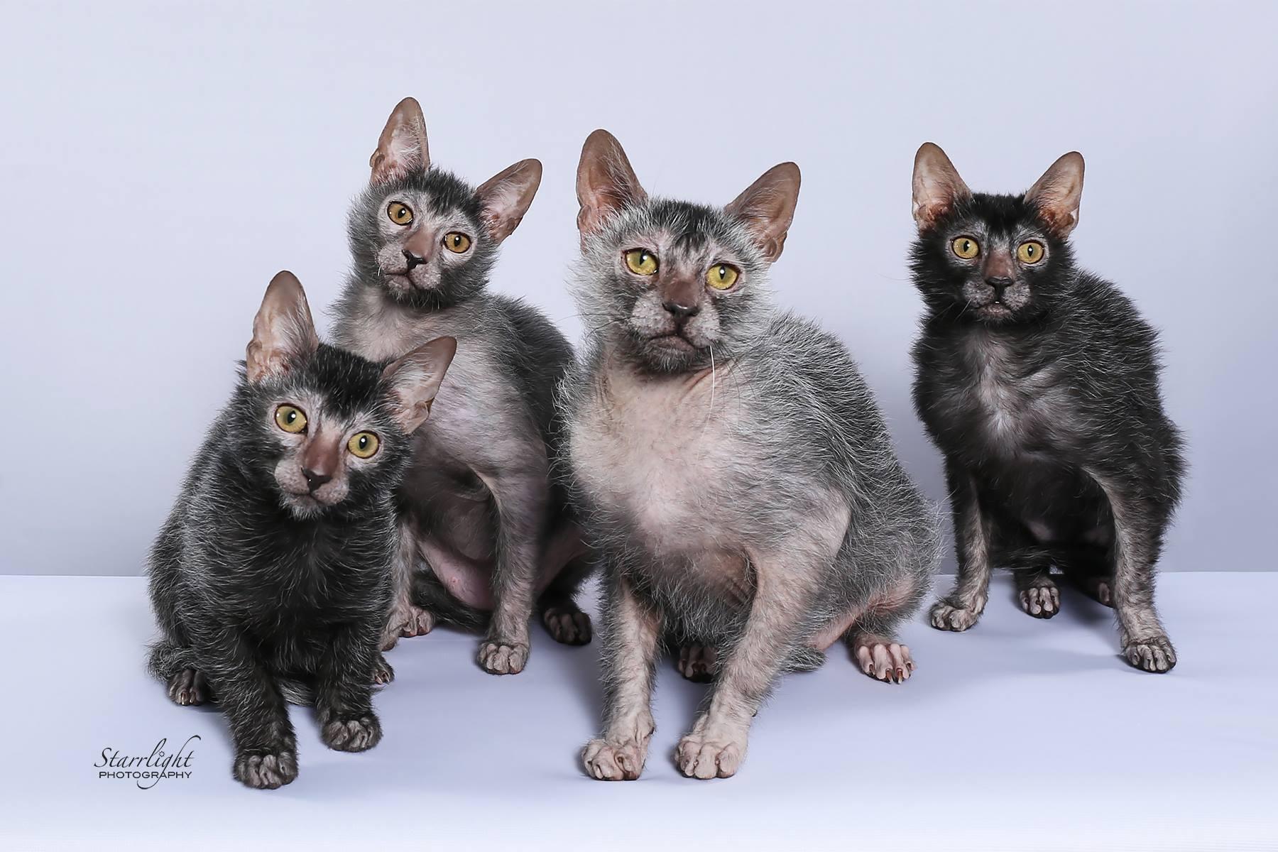 NEVADA WERECATS LYKOI CATTERY NADACATZ WEREWOLF CATS