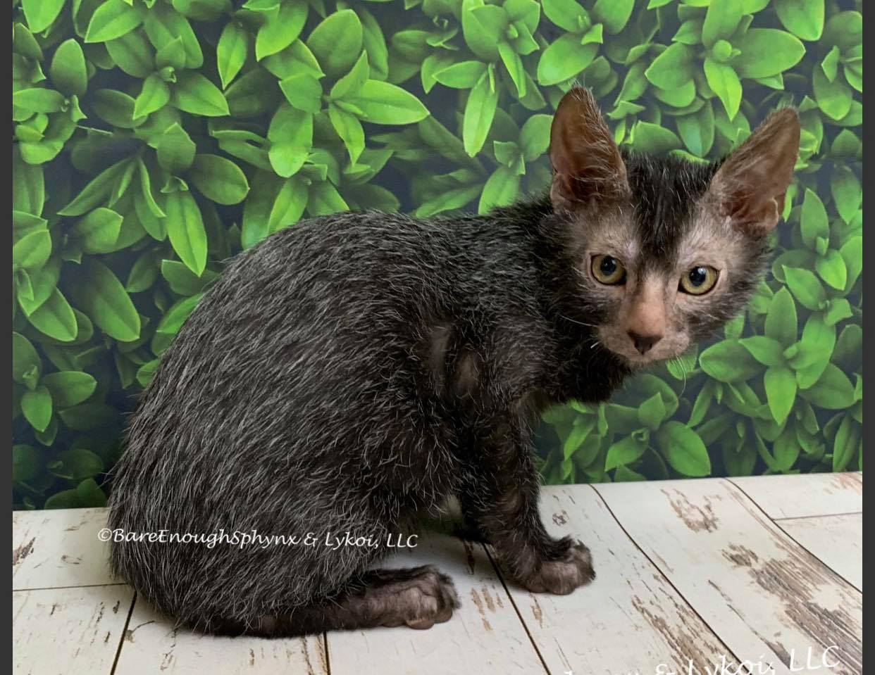 Lykoi Cats California Nadacatz Bareenough Tabby Pointed Werewolf cats