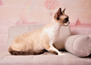 chocolate mink with white devon rex NadaCatz