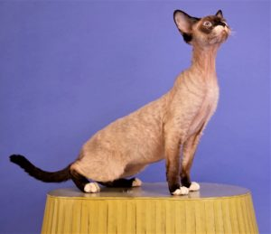 seal point and white devon rex