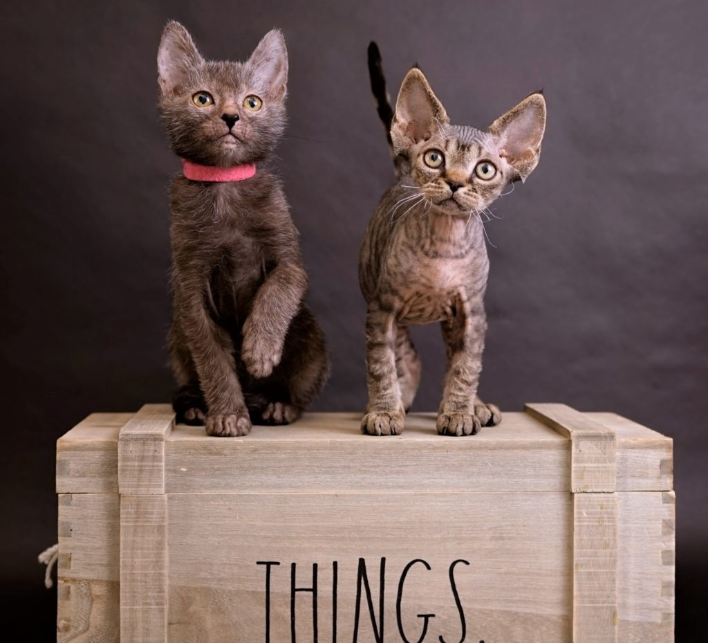 Available Lykoi Cats and Devon Rex Cats & kittens